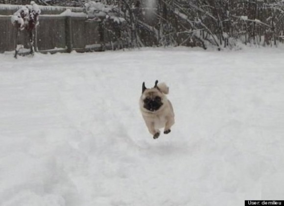 This little pug has a blast in his very own winter wonderland.