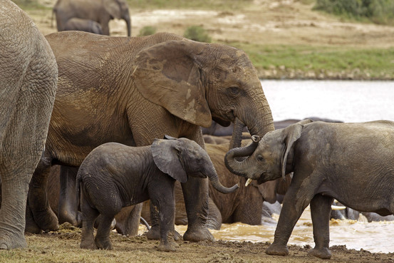 Poachers are poisoning watering holes with cyanide; killing 41 African elephants and threatening their extinction. Photo Credit: Associated Press