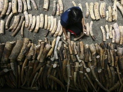 A woman organizes confiscated elephant tusks in Manila, Philippines. Photo Credit: Romeo Ranoco, Reuters