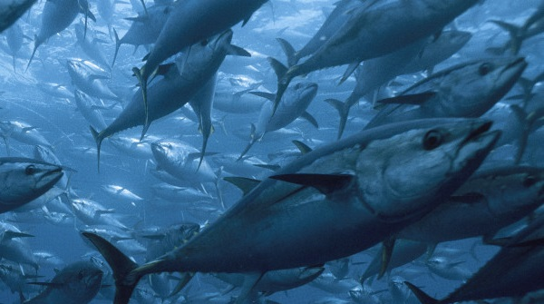 r BLUEFIN TUNA huge Bluefin Tuna Extinction: A Reel Problem