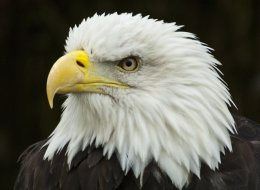 (BIRDS) Bald eagles are dying in Utah.