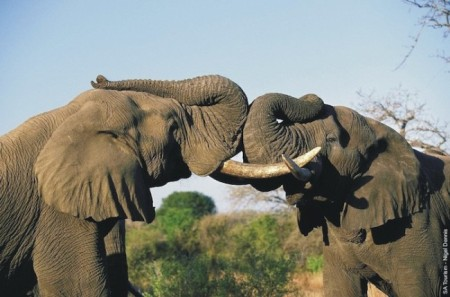 african elephants south african lodges.com  450x297 Drones Deployed In War On Poaching
