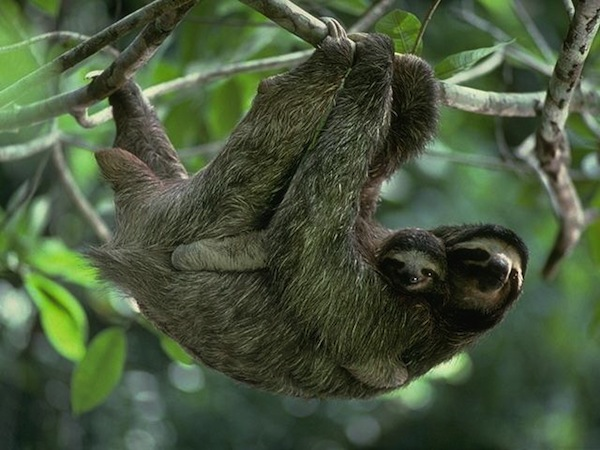 15 Surprising Sloth Facts