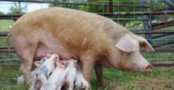 Farm animal abuse, animal abuse, pigs, piglets
