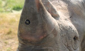This rhino camera can capture poaching events as they occur. Photo credit: Humane Society International