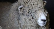 rescued sheep at catskill sanctuary gets yearly haircut