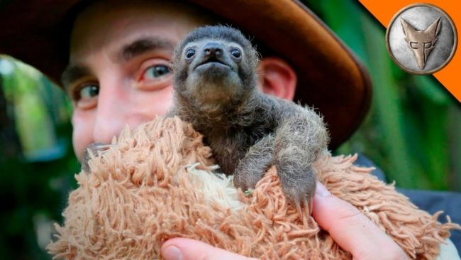 Meet B-rad, The Cutest Baby Sloth In The World!