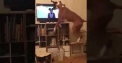 cute-boxer-dog-jumps-up-at-TV