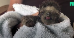 Puddles The Baby Three-toed Sloth