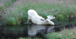 Extraordinary-White-Moose-Takes-a-Dip-in-a-Swedish-Lake