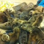 """California Sea Lions In """"State Of Emergency"""""""