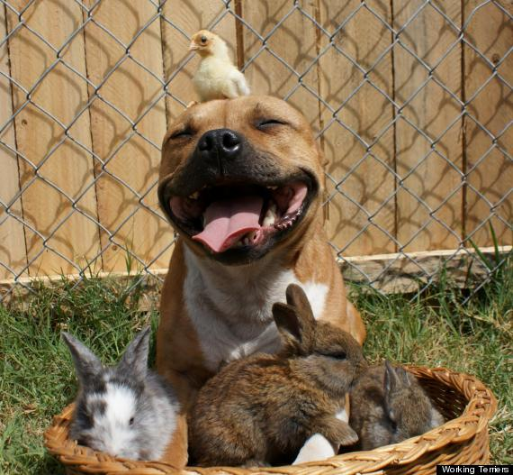 This pit bull is friends with both bunny rabbits and a chick. (DOGS/PIT BULLS)