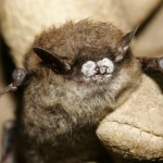 Fungus Makes Cave Dwellers Go Batty