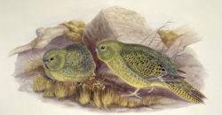 <p>The critically endangered night parrot has remerged after over a century of seclusion. Photo Credit: Alamy</p>