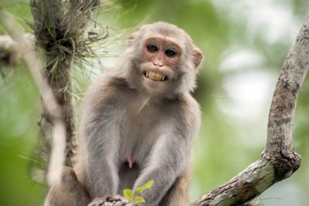A wild Rhesus monkey grinning in a tree in Silver Springs, FL. There are estimated to be more than a thousand -- some herpe infected -- living in the state./Photo Credit: Barcroft Media
