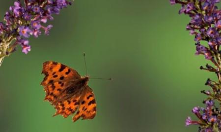 A comma butterfly in Kent, UK. Photograph: Robert Pickett/Alamy