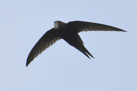 Common Swifts can eat, drink, play, and bathe while flying. Photo credit: Paul Bowyer