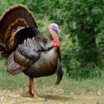 10 Reasons To Gobble For Turkeys