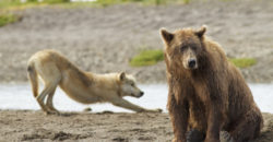 Grizzly bear (Ursus arctos horribilis) with Grey wolf (Canis lupus) stretching behind, Katmai National Park, Alaska, USA, August