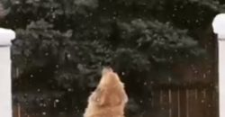 Golden Retriever catching snow flakes